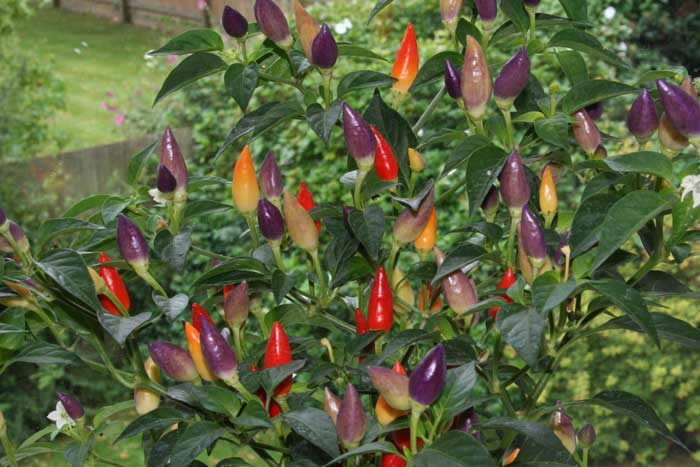 Two weeks on, and there are far more red, orange and yellow chillis